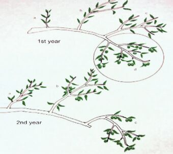 Olive cultivation for Pruning olive trees in pots
